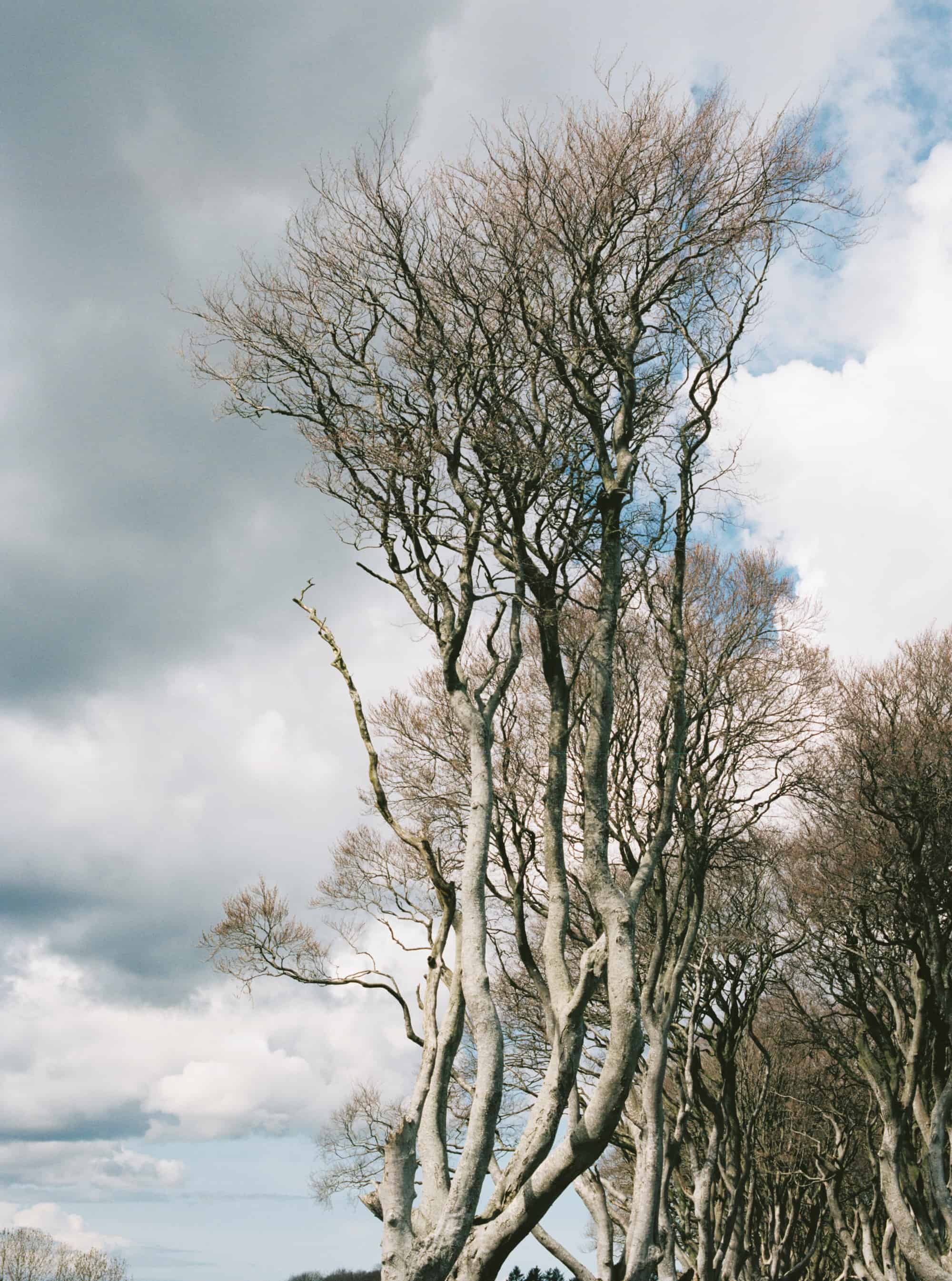 Dark Hedges in Northern Ireland photographed on film by Kate Lamb of Wild in Love Photo